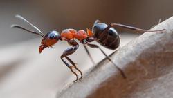 ant jelentese magyarul
