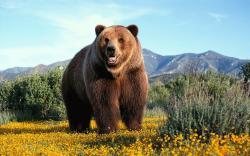 bear jelentese magyarul