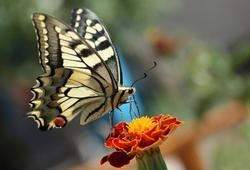butterfly jelentese magyarul