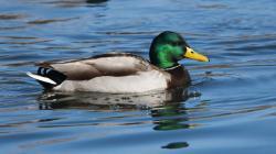 duck jelentese magyarul