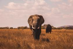 elephant jelentese magyarul