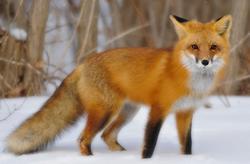 fox jelentese magyarul
