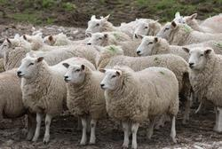 lamb jelentese magyarul