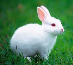 rabbit jelentese magyarul