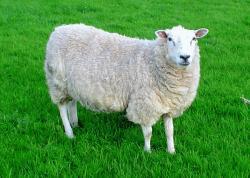 sheep jelentese magyarul