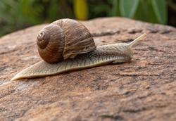 snail jelentese magyarul