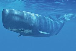 whale jelentese magyarul