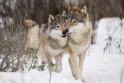 wolf jelentese magyarul