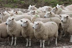 bárány angolul