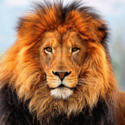 oroszlán angolul